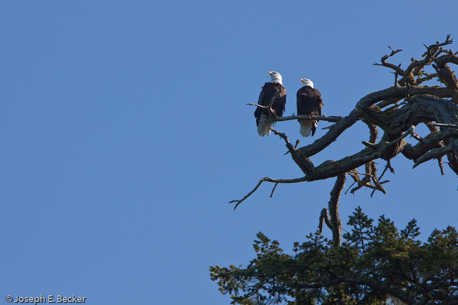 Deception Pass Eagles