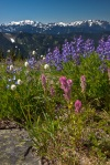 Wildflowers and Mount Olympus