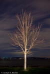 Bare maple tree, Ruston Way, Tacoma
