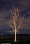 Bare maple tree, Ruston Way, Tacoma