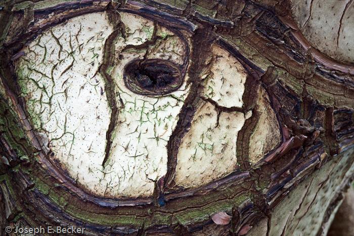 Eye of Bark