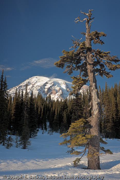 Rainier and Tree