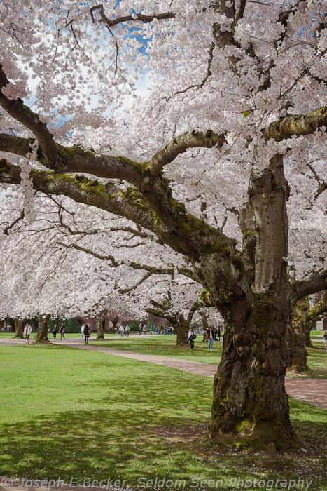 UW Cherry Tree