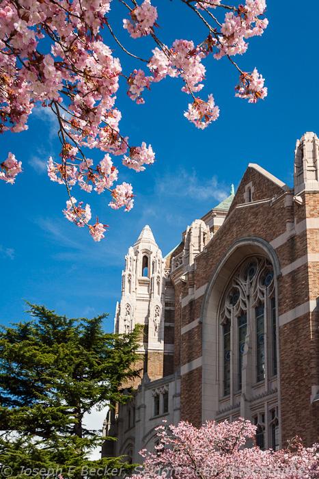Suzzallo and Cherry Blossoms