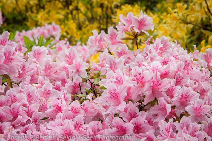 Arboretum Azaleas