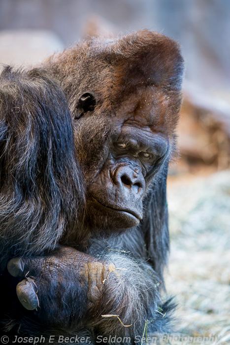 Gorilla Silverback Pete