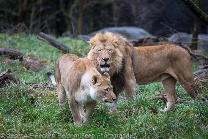 Seattle Lions