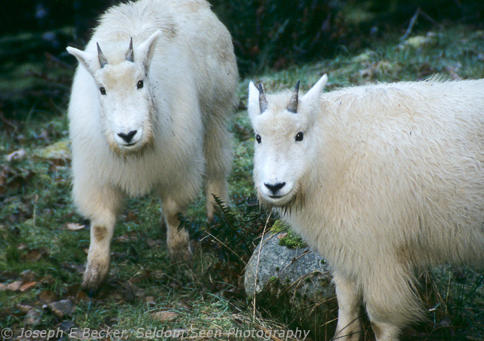 Baby Mountain Goats