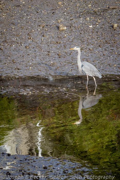 Bainbridge Heron