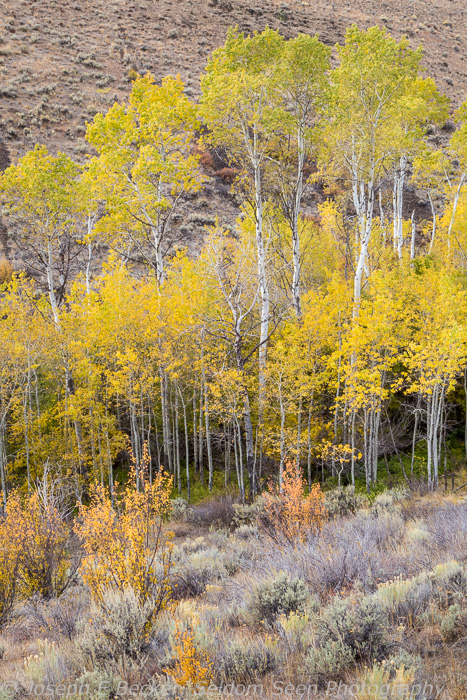 Tall and Short Aspens