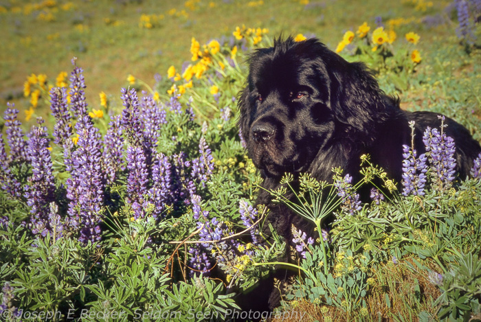A young Carson, about a year old, in the wildflowers of the Columbia Gorge.