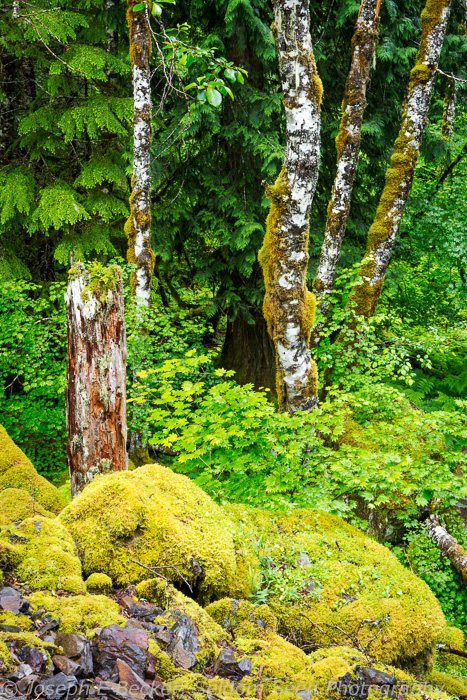 Forest scene near Middle Lewis River Falls