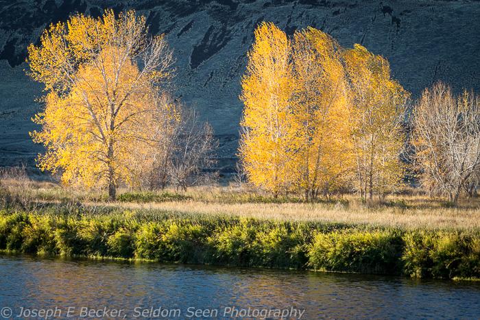 Yakima River Cottonwoods