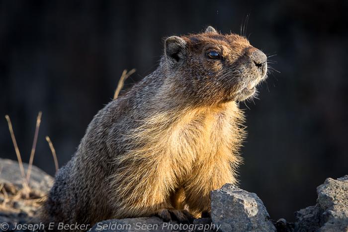 Palouse Marmot