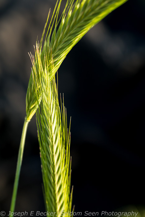 Other photo opportunities include macro shots of this wild wheat (at least that is what I think it is).