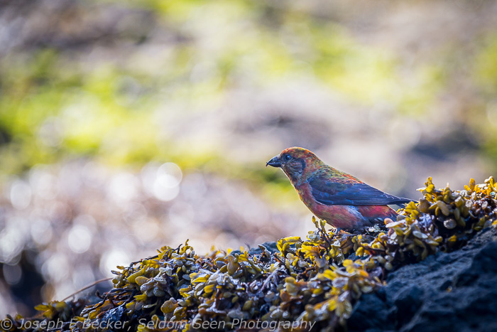 This bird was hanging around the tide pools a the south end of Kayostia Beach. If anyone knows what kind of bird it is, please let me know.