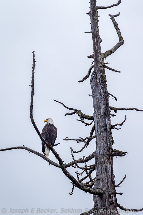We saw plenty of bald eagles.