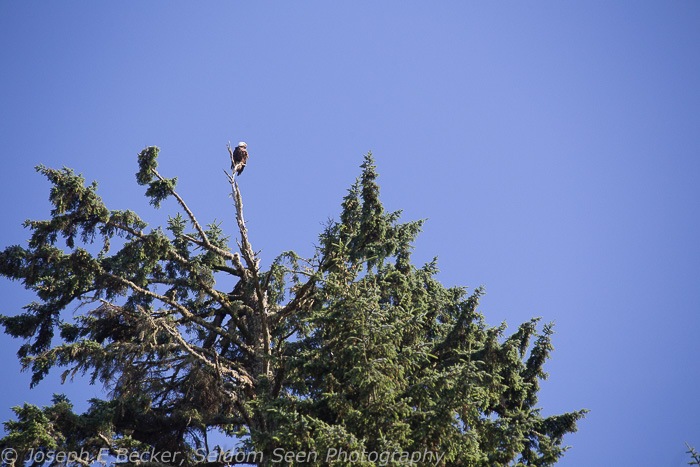 Another small white spot? No, that's a bald eagle (no processing)
