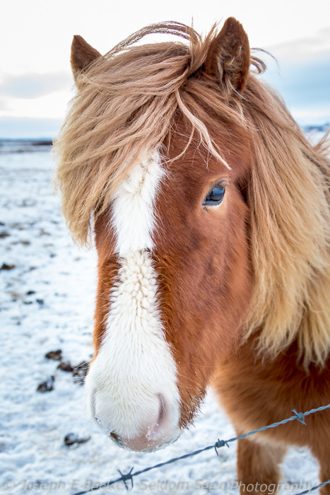 Small Icelandic horses are found throughout the countryside