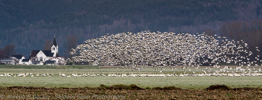 Snow Geese and Conway Church