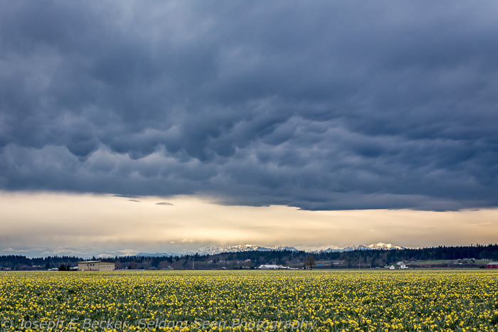 It got cloudier as the morning progressed, but that made for some dramatic clouds over the daffodil fields (Olympic Mountains in the background).