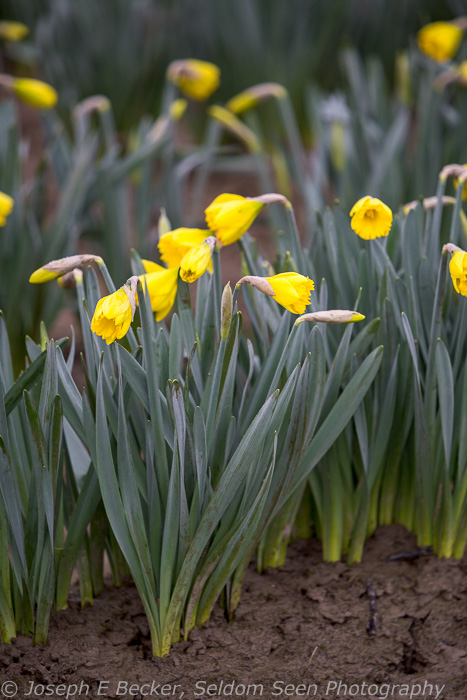Daffodils - just starting to bloom. No need for a big telephoto lens here!