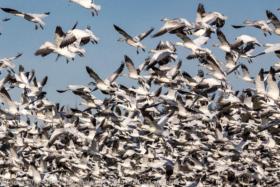 Snow Goose Takeoff