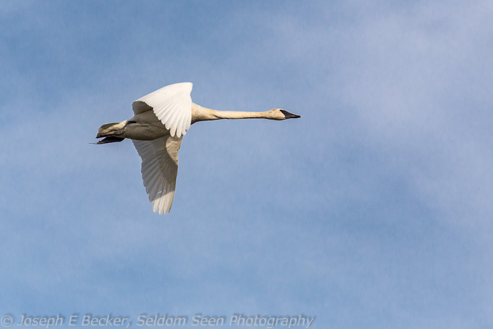 Trumpeter swan flying over Fir Island.