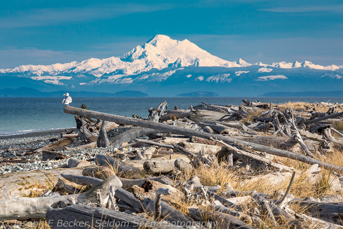 Mount Baker and drift wood on the spit.