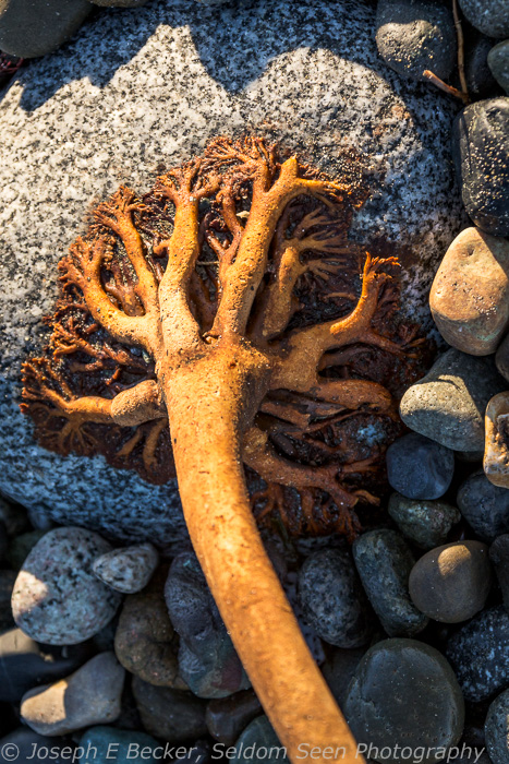 Close up on kelp roots attached to a beach rock.